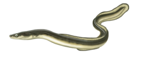 Ål - Eel
